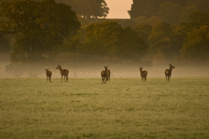 deer-early-morning